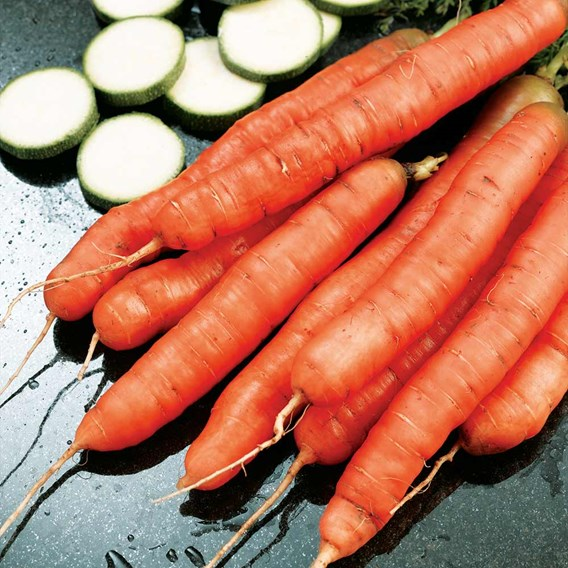 Carrot Seeds - Amsterdam Forcing 3
