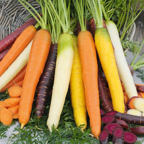 Carrot Seeds - Rainbow Mix