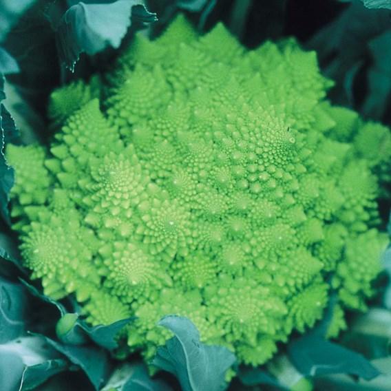 Our Selection Brassica Veg Pots (18 x P9)