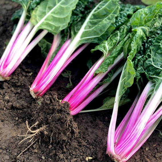 Swiss Chard Seeds - Peppermint