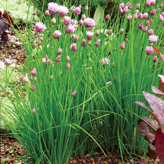 Herb Plant - Chives