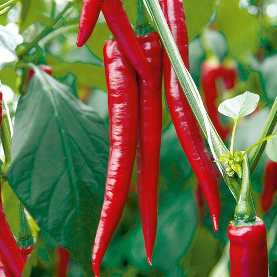 Pepper Chilli Grafted Plant - F1 Medina