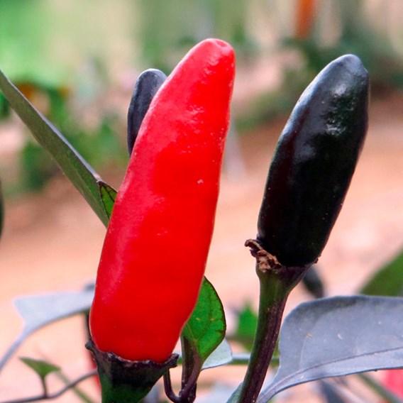 Pepper Chilli seeds - Zimbabwe Black