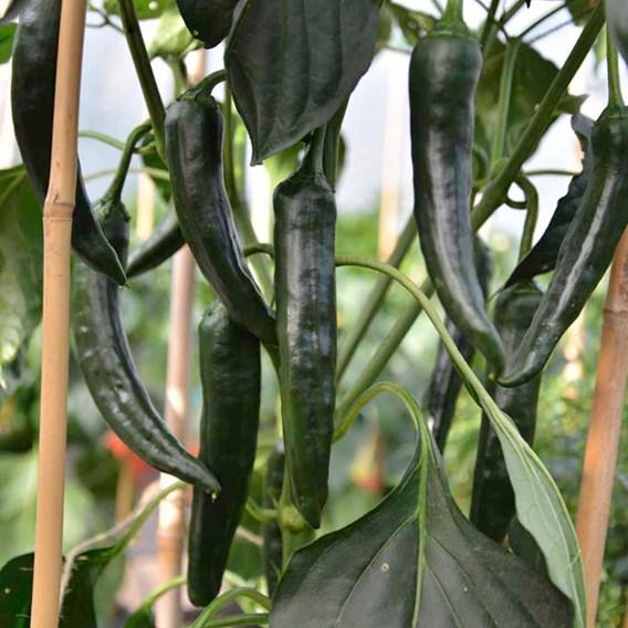 Chilli Seeds - Chilaca