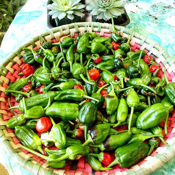 Pepper Chilli Seeds - Padron