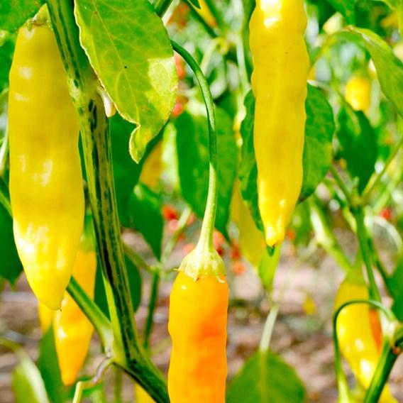 Pepper Chilli Seeds - Aji Habanero