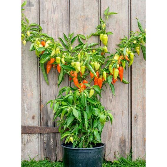 Pepper (Sweet/Chilli) Habanada (3)