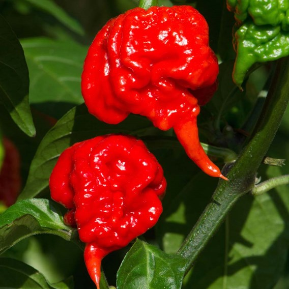 Chilli Pepper Plants - Carolina Reaper