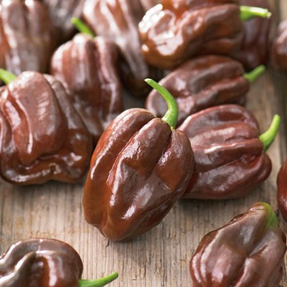 Pepper Chilli Seeds - Chocolate Habanero