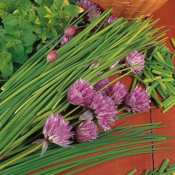 Herb Plant - Chives(Allium) Prado