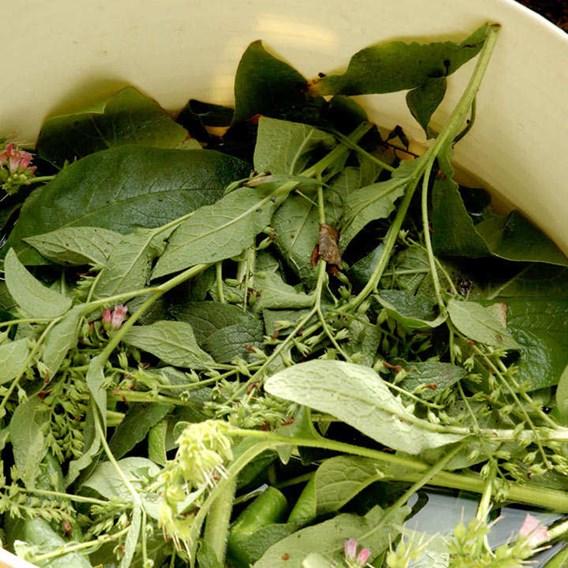 Comfrey 'Bocking 14' Plants P9 x 3