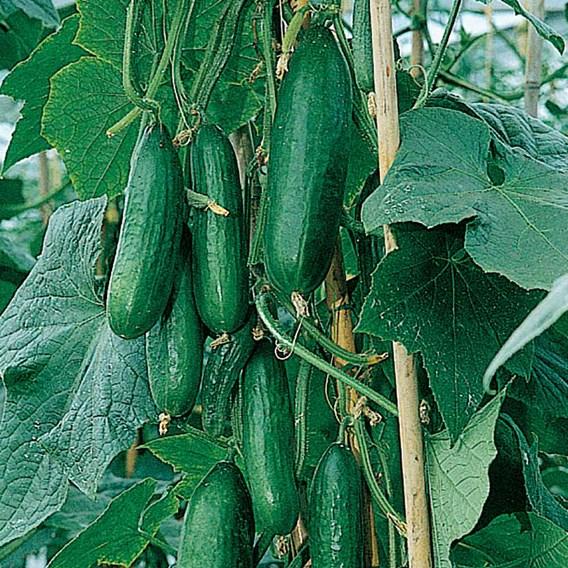 Cucumber Seeds - F1 Passandra