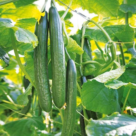 Cucumber Seeds - F1 Greenfit