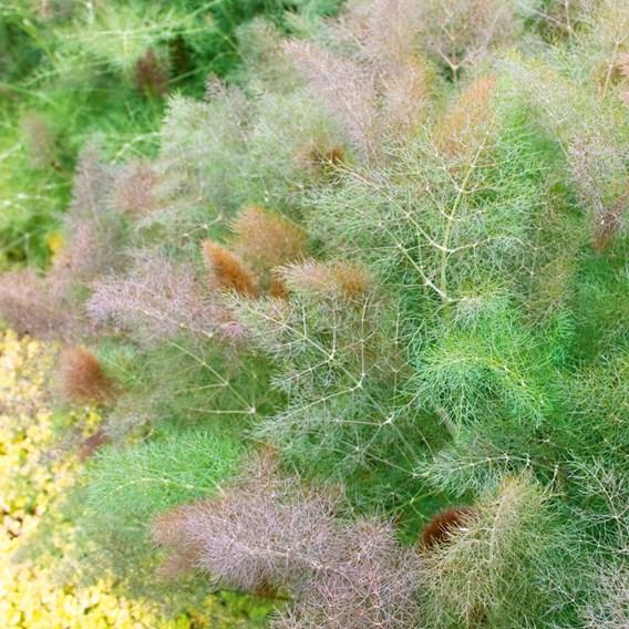 Herb Plant - Bronze Fennel