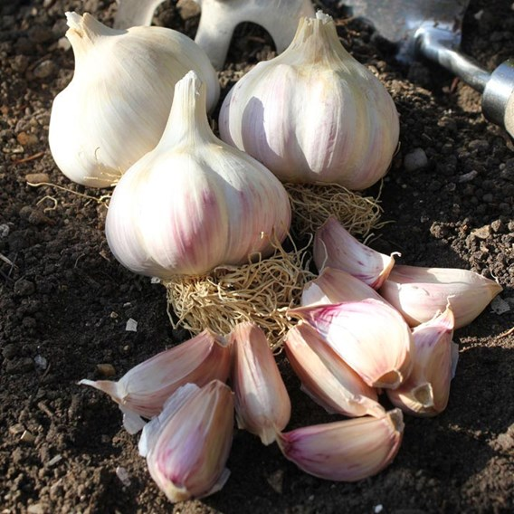 Garlic Bulbs - Garlic Lovers  Autumn Planting Collection