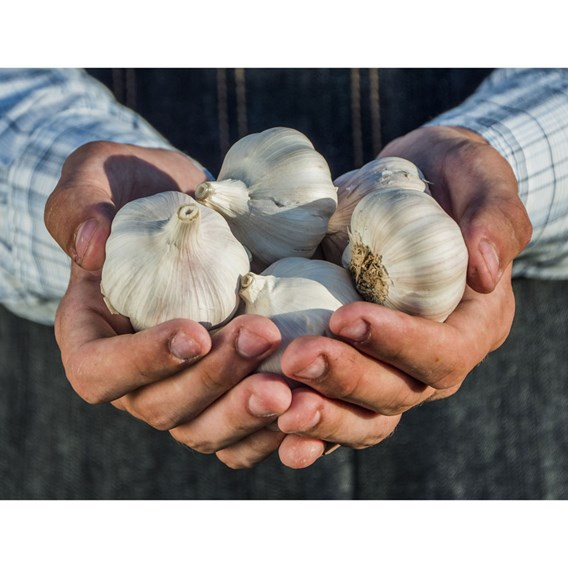 Garlic 9cm Plants Our Selection (18 plants)