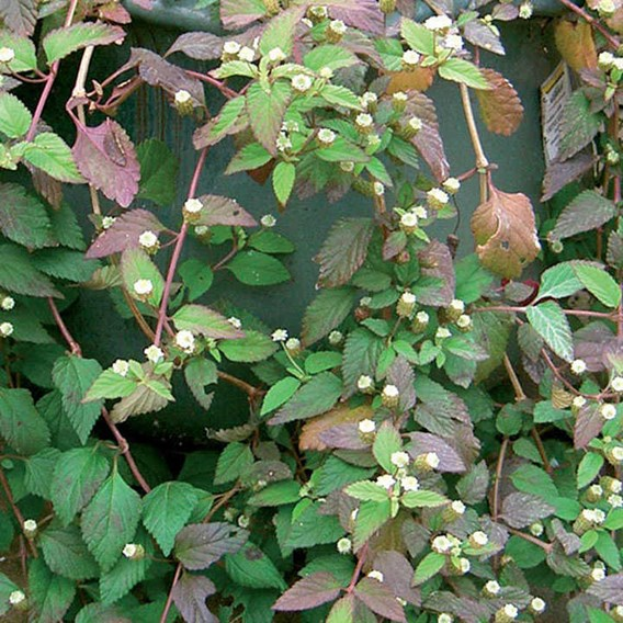 Aztec Sweet Herb Colada (3) Botanical Infusions