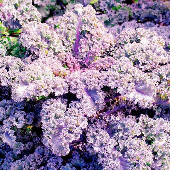 Kale Seeds - Scarlet
