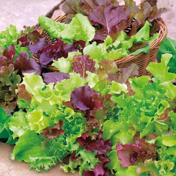 Lettuce Mixed (Red Salad Bowl,Suzan,Marvel Of Four Seasons,Little Leprechaun