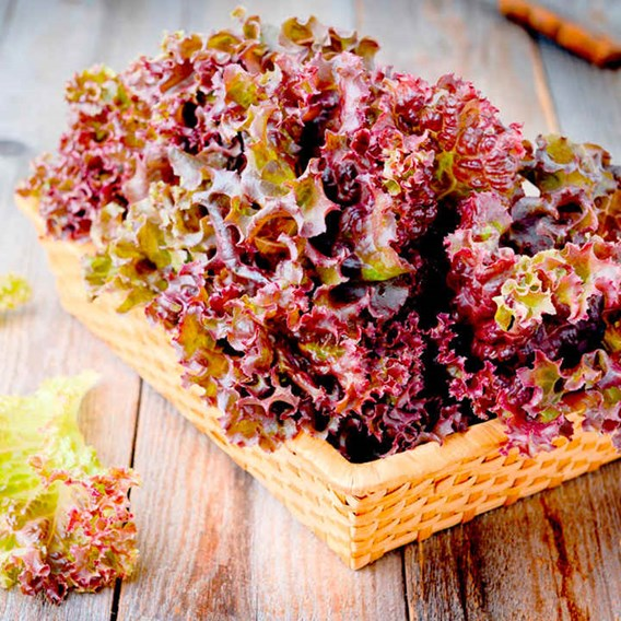 Lettuce Seeds - Lollo Rossa