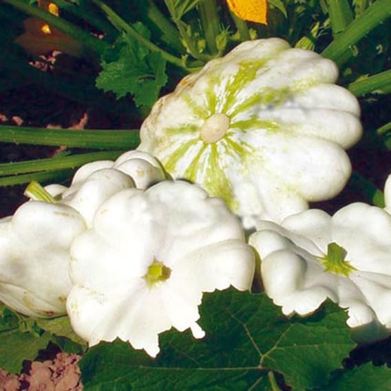Marrow / Squash Custard White