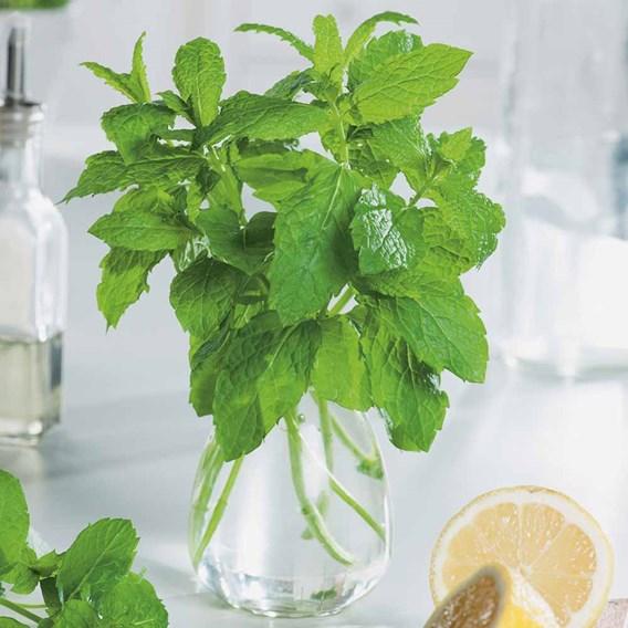 Herb Plant - Mint Jessicas Sweet Pear
