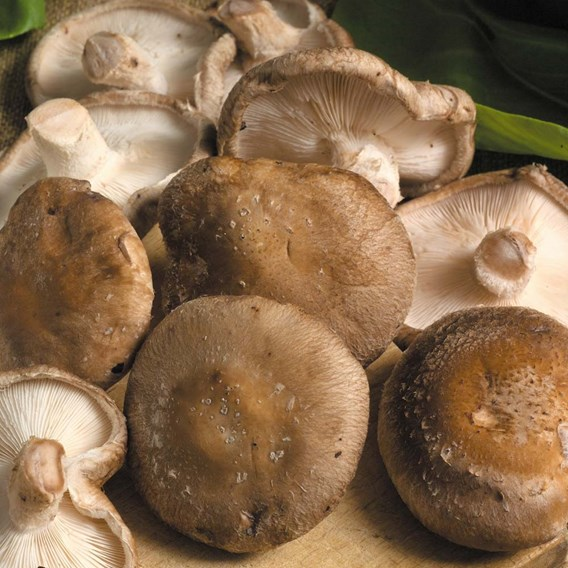 Mushroom Plugs - Shiitake Mushrooms 30 spawn plugs