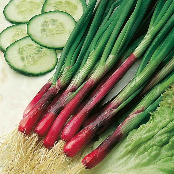 Seed Tin Spring Onion Red & White Mix