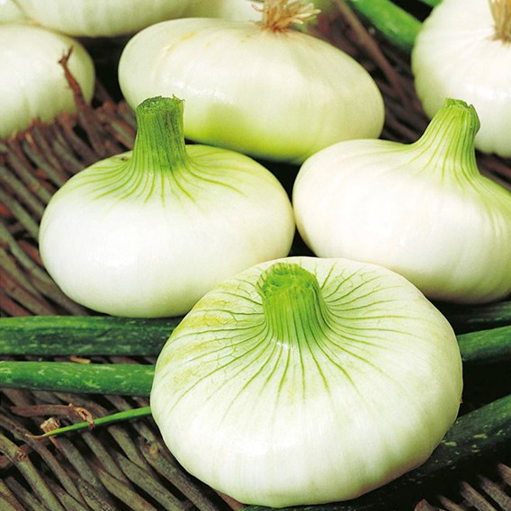 Onion Seeds - Borettana