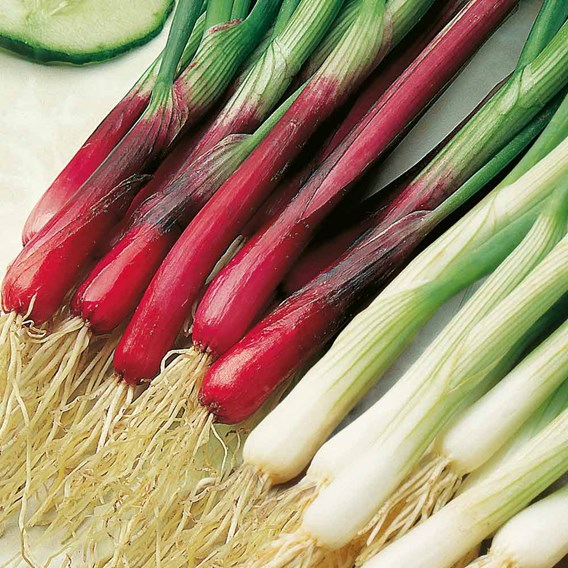 Spring Onion Red & White Mixed (45)