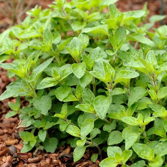 Herb Plant - Oregano Hot & Spicy