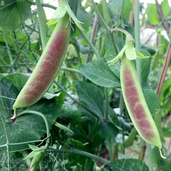 Pea Mangetout Spring Blush (12)