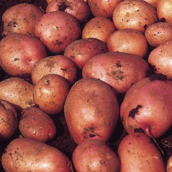 Seed Potatoes - Maxine1kg