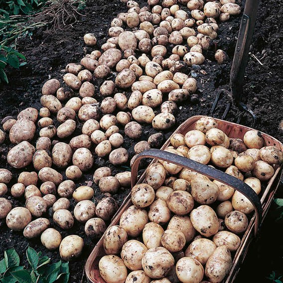 Seed Potatoes - Foremost 1kg
