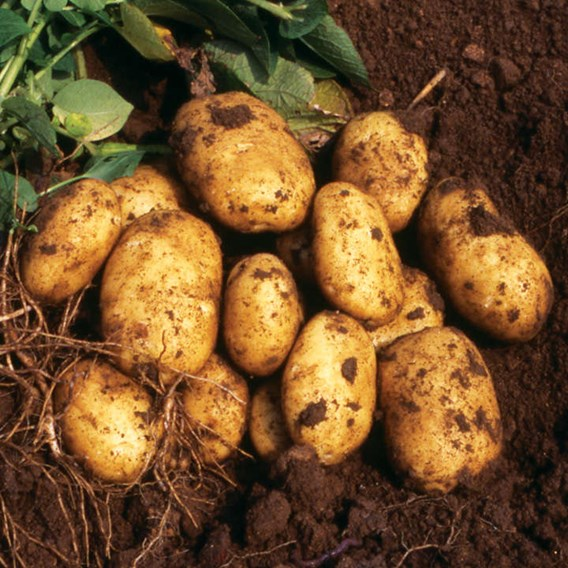 Seed Potatoes - Second cropping - Nicola 1kg