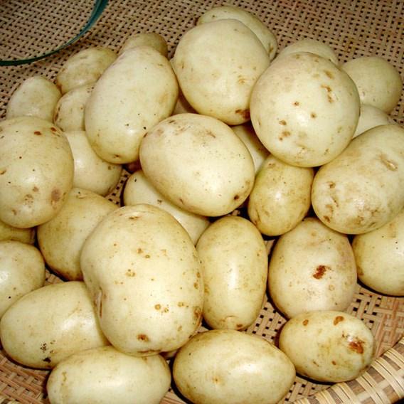 Seed Potatoes - Accord 1kg