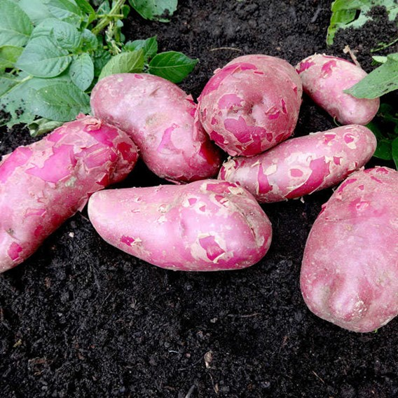 Early Maincrop Red Emmalie (1kg)