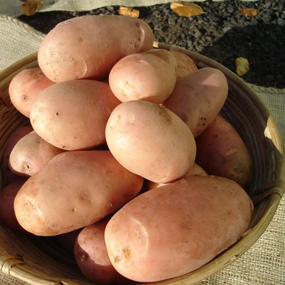 Seed Potatoes - Stemster 1kg