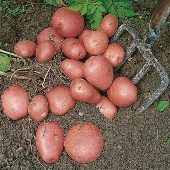 Seed Potatoes - Red Duke of York 1kg