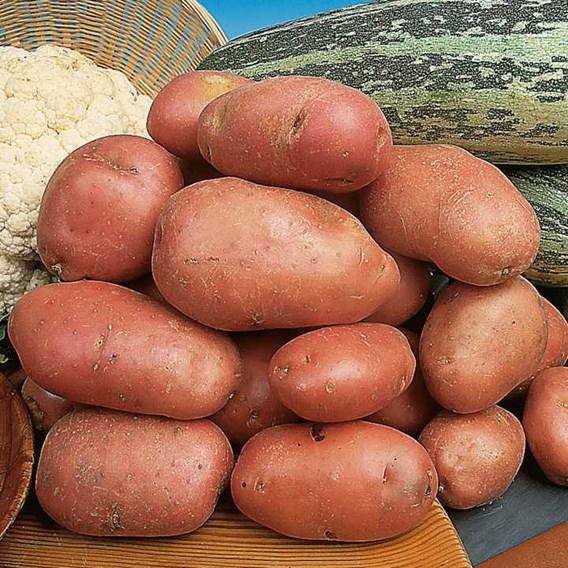 Seed Potatoes - Desiree