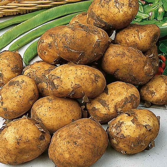 Seed Potatoes - Sutton's Premium Selection