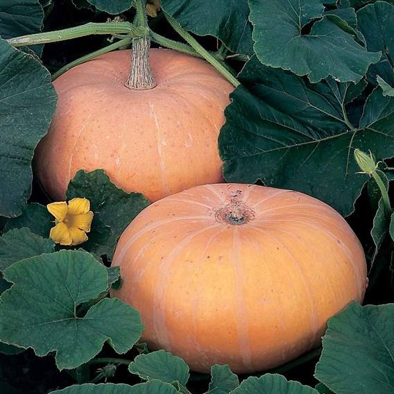 Pumpkin Seeds - Hundredweight