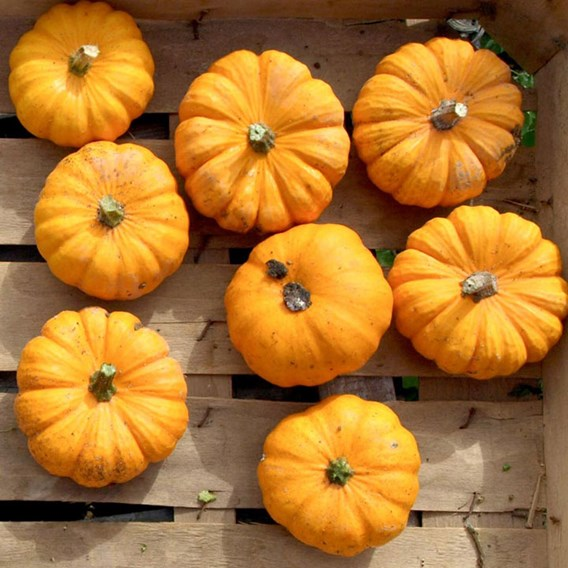 Squash & Pumpkin Jack Be Little