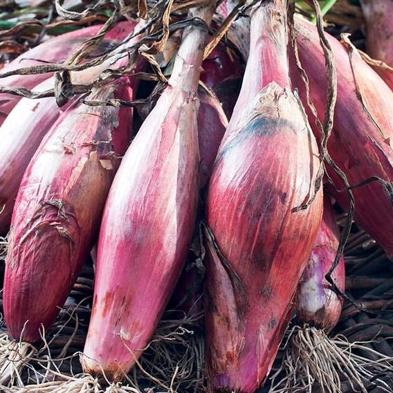 Shallot (Banana) Seeds - Simiane