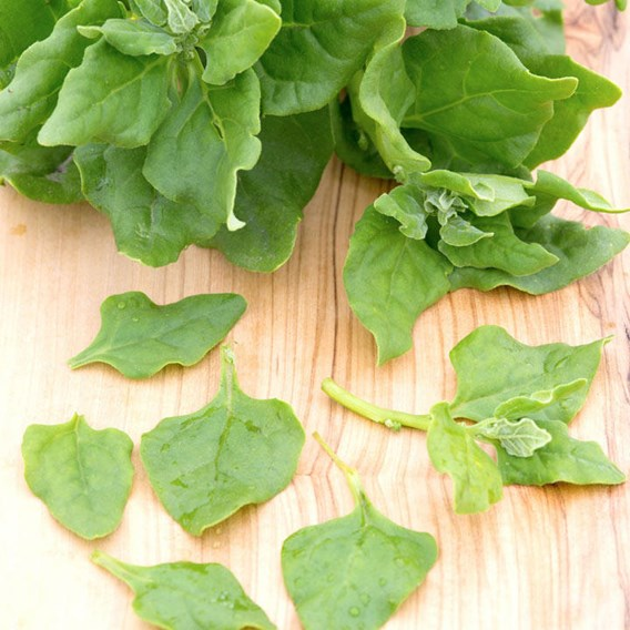 Spinach New Zealand seeds