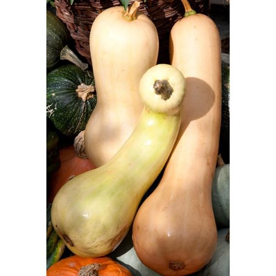 Squash Seeds - Tahiti Melon