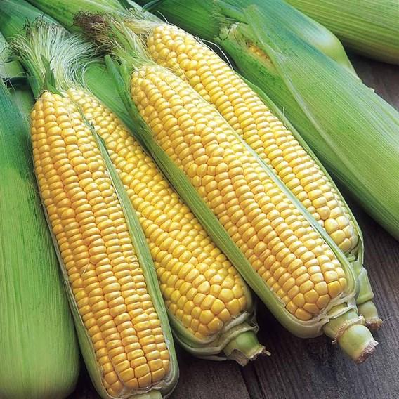 Sweet Corn Seeds - F1 Swift