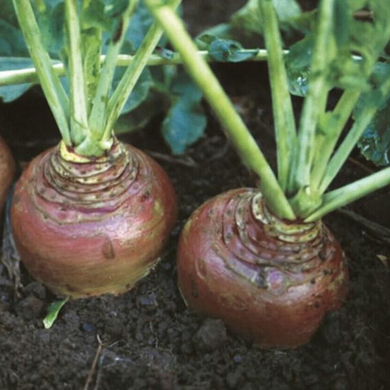 Swede Seeds - Invitation