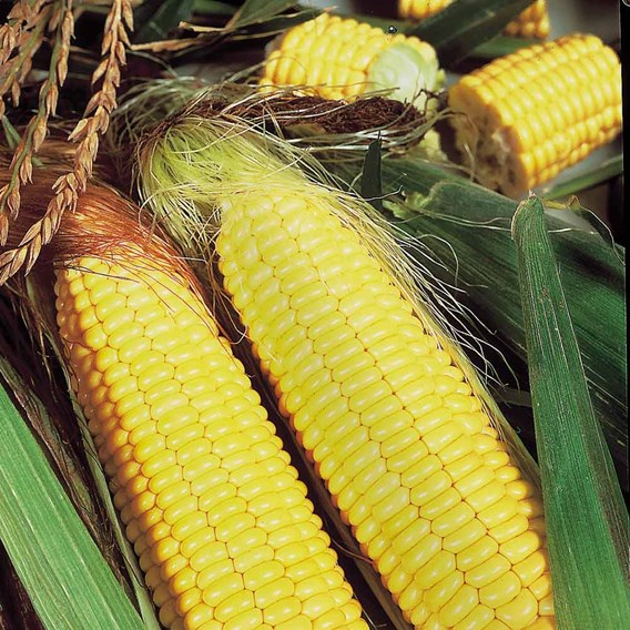 Sweet Corn Seeds - F1 Sundance