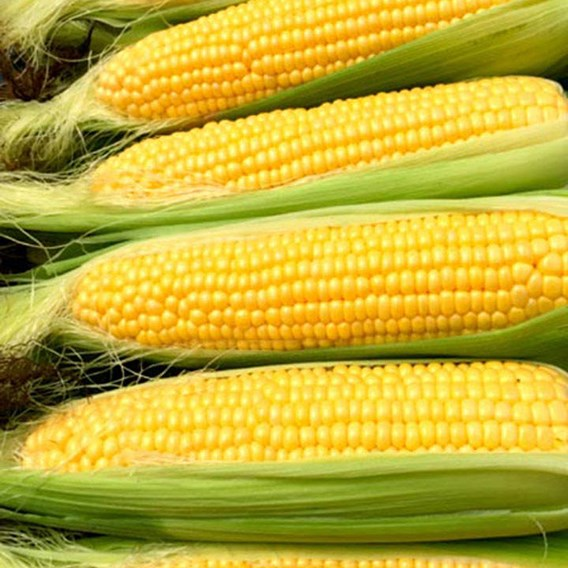 Sweet Corn Seeds - Moonshine F1